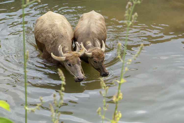 two bulls were walking together at river Water Nature Drinking Animal Swimming Day Outdoors Animal Love Waterfront Mammal Walk On Water Animals In The Wild High Angle View Group Of Animals Two Animals Animal Themes Young Animal Animal Wildlife Animal Family Couple Animal Romance Animal