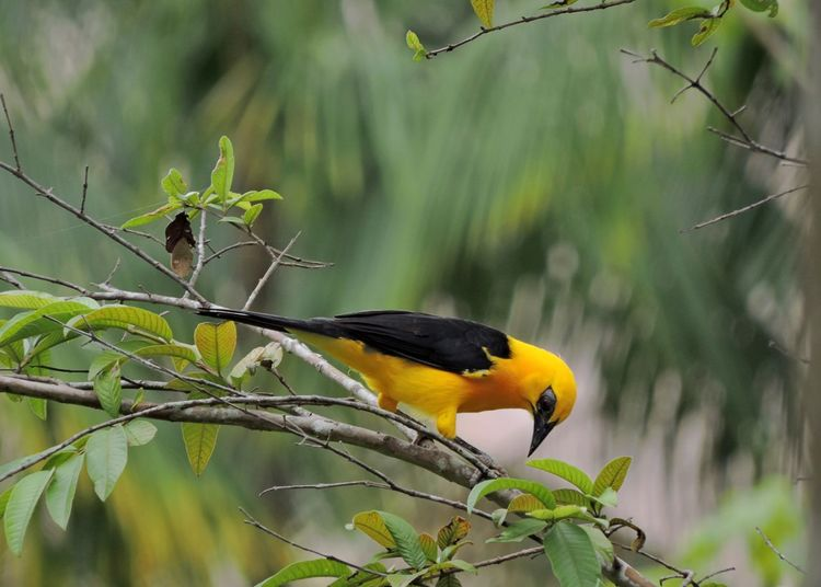 Yellow and black Animal Animal Themes Animal Wildlife Animals In The Wild Beauty In Nature Bird Branch Day Focus On Foreground Green Color Nature No People One Animal Outdoors Perching Vertebrate