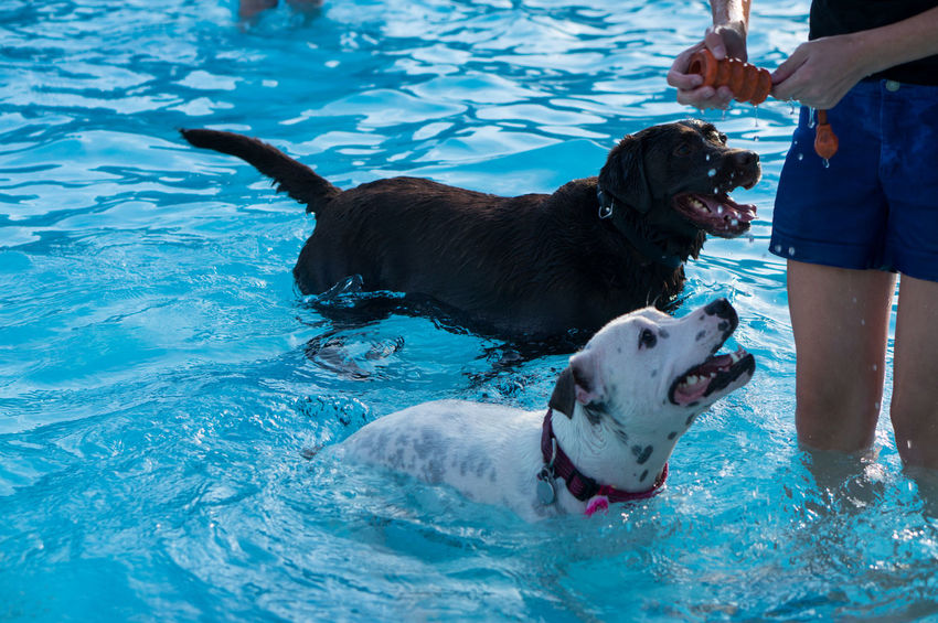 last day of the swimming season is for the dogs Animal Animal Behavior Animal Head  Animal Themes Blue Brown Cute Dog Dogs Dogs Swimming Domestic Animals Fetch Fun Labrador Legs Loyalty Mammal Pets Playing Swimming Swimming Pool Water White Zoology