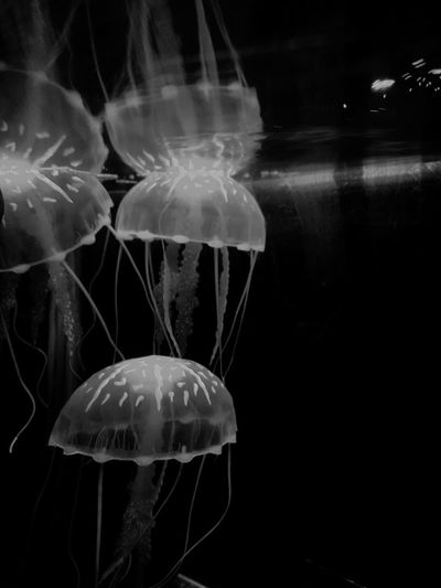Elegant Elégance Underseaworld Underwaterworld Vscofilter Fishportrait Fishes VSCO Vscocam Fins For The Love Of Black And White Monochrome Black And White Jellyfishes Water Sea Life Swimming Black Background Underwater UnderSea Jellyfish Close-up Floating In Water Aquarium Fish Tank Tank Fish