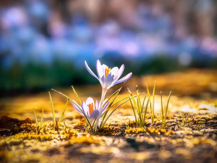 Flowering Plant Plant Flower Beauty In Nature Vulnerability  Close-up Selective Focus Freshness Fragility Growth Petal Iris Crocus Nature Land Inflorescence Day Field No People Flower Head Outdoors