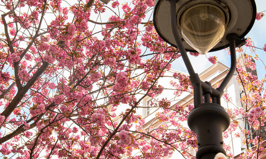 Low angle view of street light by cherry blossom