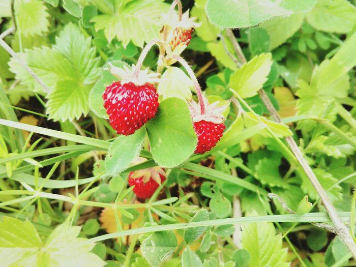 Strowberry MMMMMMMMMMMMMMMMM Red Vs Green Vacations Grandpas Farm
