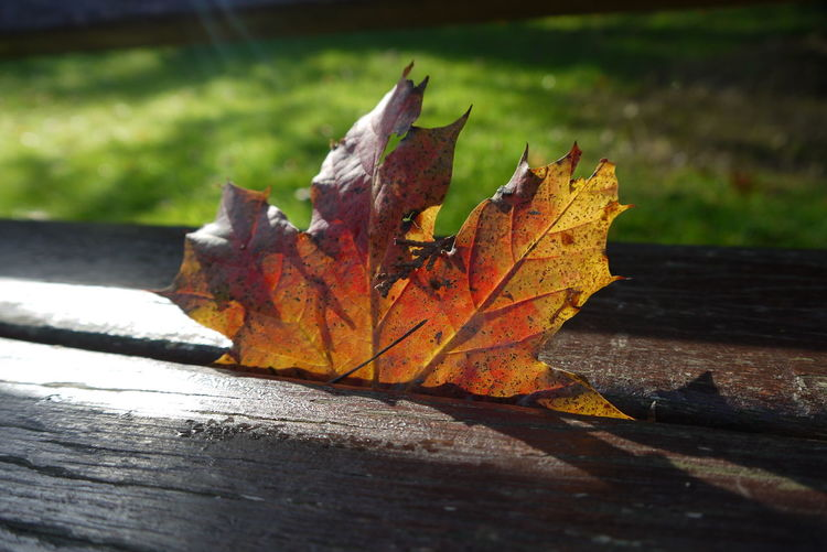 where autumn leaves fall Autumn Sunlight Ray Of Light Sun's Rays Arboretum Bench Autumn🍁🍁🍁 October Orange Red Pointed Leaves Beauty In Nature Fall Colors Fall Beauty Fall Leaves Where It Landed Golden Autumnbeauty Leaf Autumn Sunlight Change Close-up Fallen Leaf Vein Fallen Leaf
