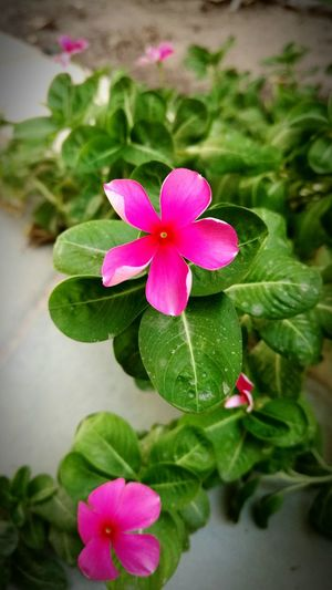 Focusing on beauty.... Pedrographybh Flower Pink Color Beauty In Nature Close-up Plant Blooming Lifeinthemiddleeast Underthesun Scorchingsun Bahrain Outdoors Vignette Soft Focus TakeoverContrast The Still Life Photographer - 2018 EyeEm Awards