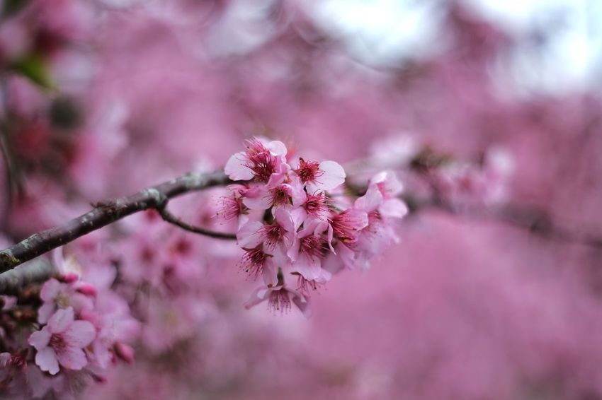 Beauty In Nature Tree Flower No People Pink Color Branch Nature Close-up Plant Outdoors Growth Winter Freshness Scenics Cold Temperature Fragility Flower Head Day 恩愛農場 Taiwan 臺灣