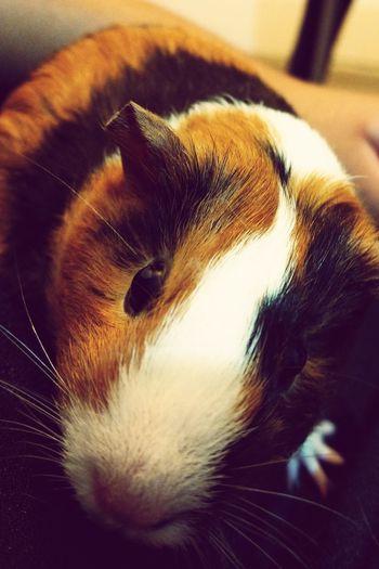 Pet Portraits Guinea Pig Whats Up Human?