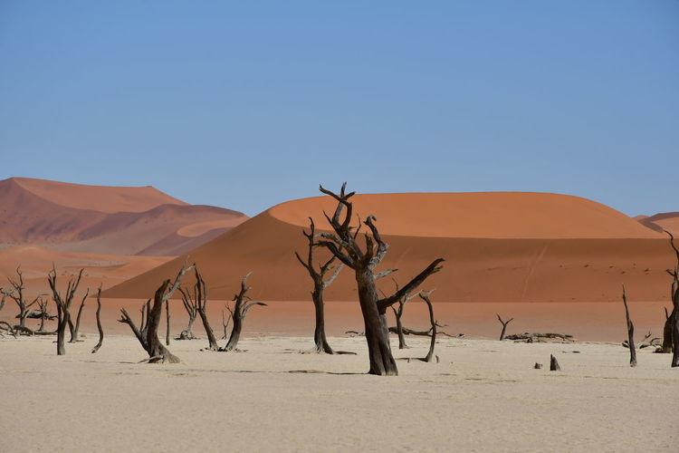 Dead trees on desert against clear sky