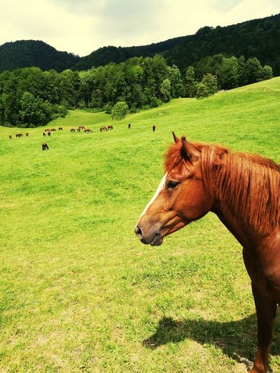 Hors Green Color Nature Outdoors No People Horse Green HUAEWI P9 Huawei P9 Leica Taking Photos HuaweiP9 Taking Pictures Landschaft Weideland Animal Themes Domestic Animals Grass