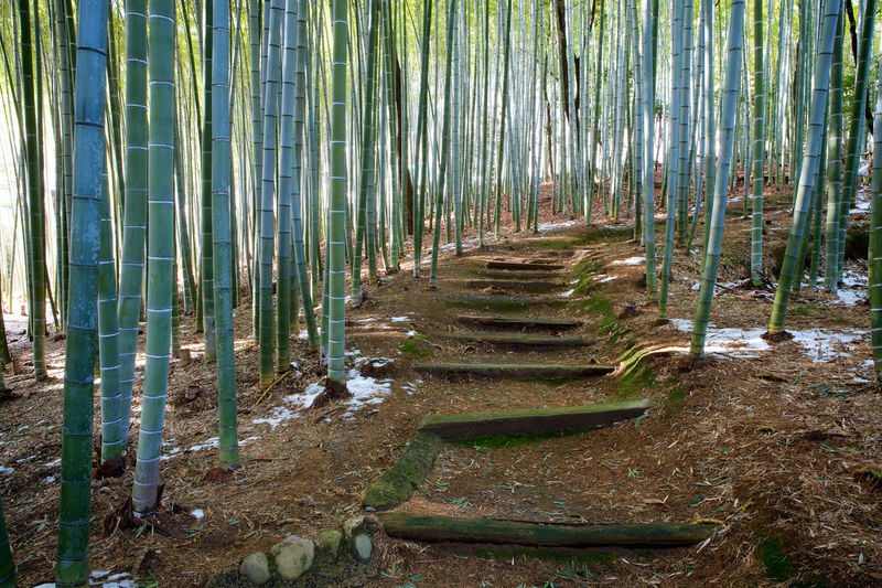 Path through bamboo grove near Kyoto, Japan Japan Path Bamboo - Plant Bamboo Grove Beauty In Nature Day Forest Growth Kyoto Nature No People Oriental Outdoors Pathway Tranquility Tree Tree Trunk