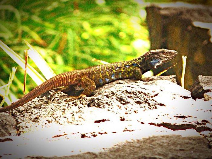 Eidechse Lizard Animals SPAIN Tenerife