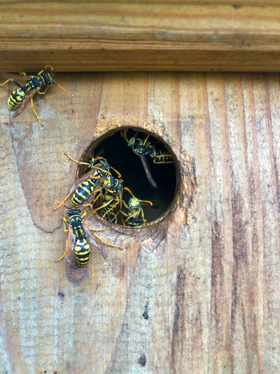 Close-up of bees on wooden door