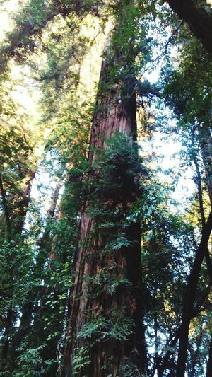 Boonville Ca Camping In Boonville Tree Day No People Growth Outdoors Nature Low Angle View Tree Trunk Close-up r Love Peace & Happiness 😊 Nature