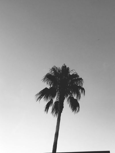 Summer Palm Tree Low Angle View Clear Sky Palm Tree Growth Nature Tropical Climate Beauty In Nature