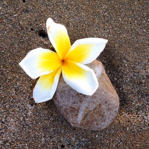 Found objects Beach Beauty In Nature Blooming Blossom Close-up Day Flower Flower Head Fragility Frangipani Freshness Ground In Bloom Nature No People Outdoors Petal Plant Stone - Object Yellow