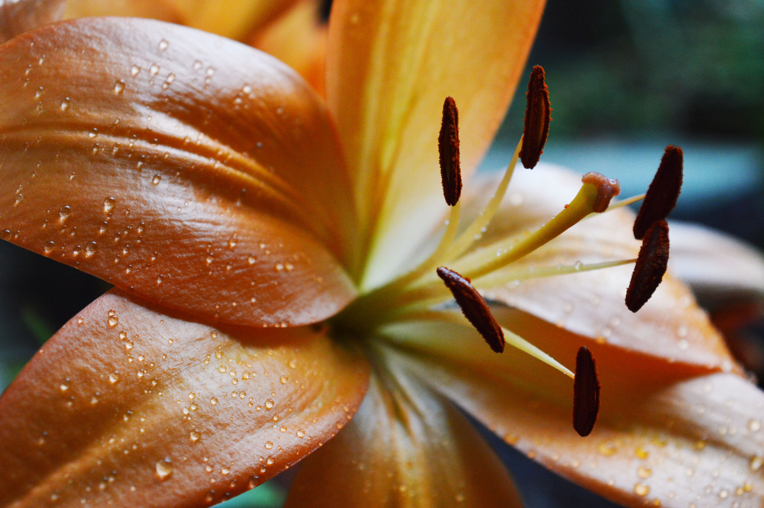 flower, petal, freshness, close-up, growth, no people, nature, flower head, beauty in nature, fragility, day, outdoors, day lily