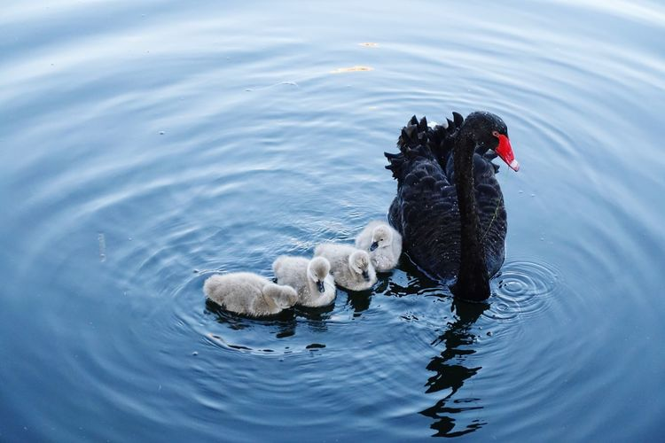 blackswan EyeEm Selects Bird Swimming Water Water Bird Lake Duck Swan Black Swan Swimming Animal Cygnet Animal Family EyeEmNewHere My Best Photo