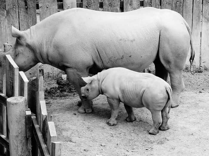 Rhinoceros with calf in zoo