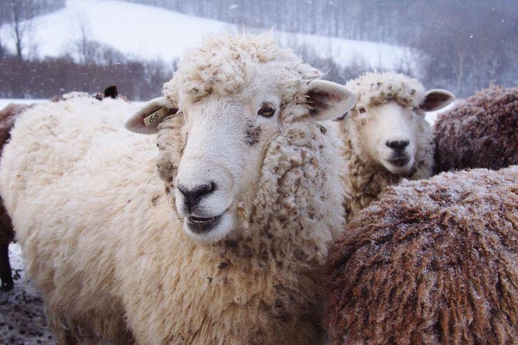 Sheep Open Edit Farm Life Farm Animals Farm Snowing
