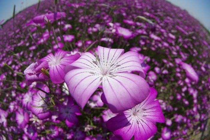 Flower ポピー 麦なでしこ 埼玉県鴻巣市 Pentax K-3