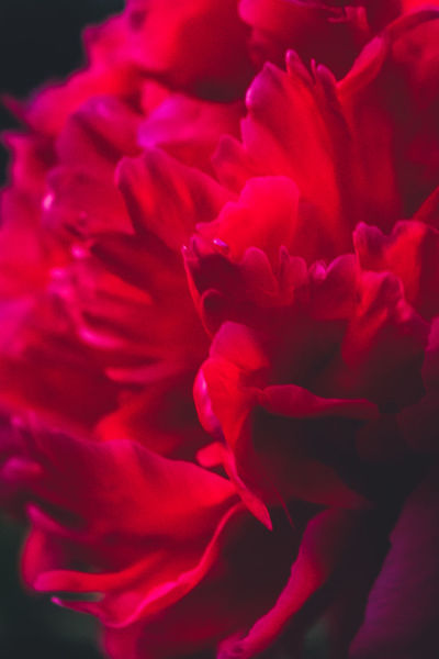 Backgrounds Beauty In Nature Close-up Day Flower Flower Head Fragility Freshness Full Frame Growth Nature No People Outdoors Peony  Petal Plant Red