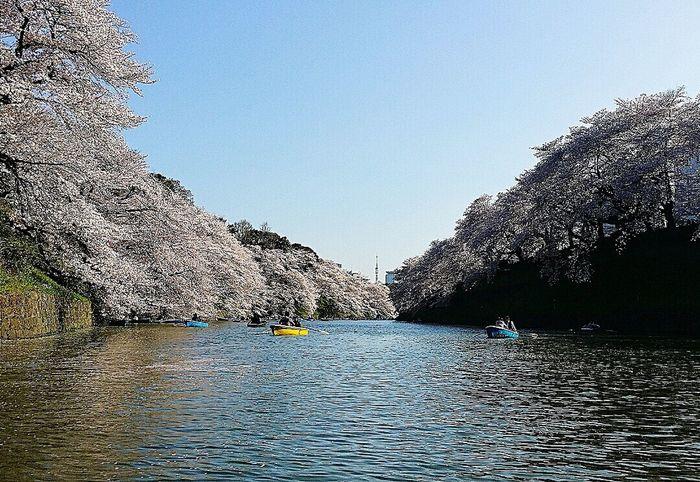 Imperial Palace Moat Chidorigafuchi Spring 2015 Boating Sakura 樱花 Cherry Blossoms Tokyo Japan Travel Photography
