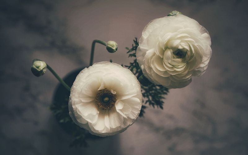 Ranunculus Ranunculus Close-up Plant Freshness Focus On Foreground Indoors  No People Flower Flowering Plant Table Still Life Nature White Color Directly Above