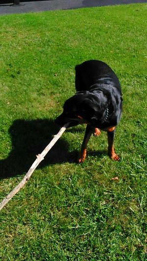 Found big stick to play with One Animal Grassland Domestic Animals Caesar My Buddy Rottweiler Rottweilerlife Rottweilerlove Rottweiler,dogs Dogs Of EyeEm Dogs Of Autumn