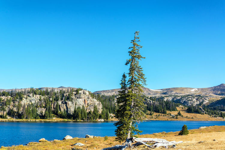 Pine tree on a lakeshore in Shoshone National Forest in Wyoming, USA Alpine Bear Montana National Park Scenic Shoshone Travel Tundra USA Wanderlust Wyoming Beartooth Destination Forest Lake Landscape Lodge Mountain Overlook Peaks Range Shoshone National Forest Tooth Valley Wilderness