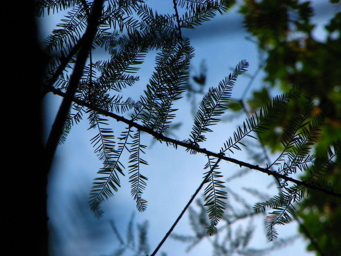 Botany Cloud - Sky Cupressaceae Low Angle View Nature Non-urban Scene Outdoors Outline Scenics Selective Focus Sky Taxodiaceae Taxodium Taxodium Distichum Tranquility