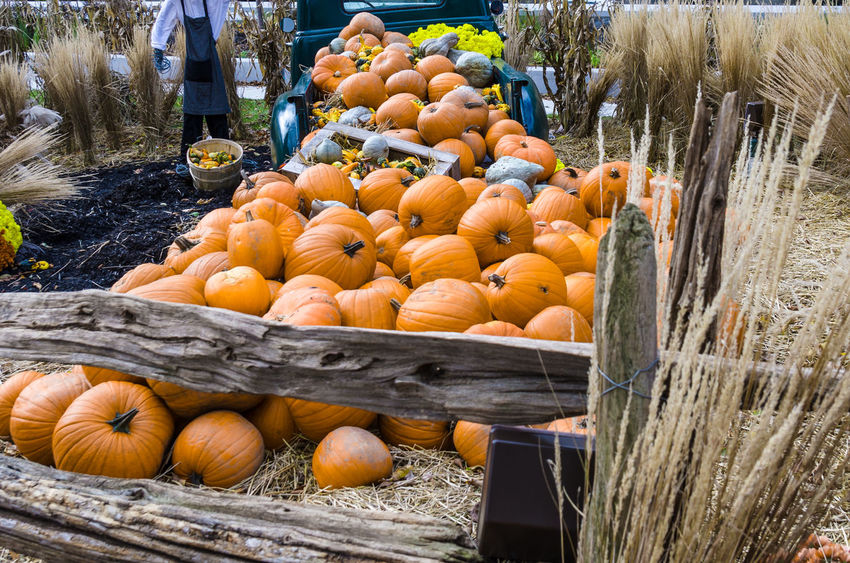 Pumpkin Wheat Abundance Choice Day Fence Food Freshness Fruit Healthy Eating Holloween Large Group Of Objects Market Outdoors Pumpkin Pumpkin Display Retail  Squash - Vegetable Stack Variation Vegetable