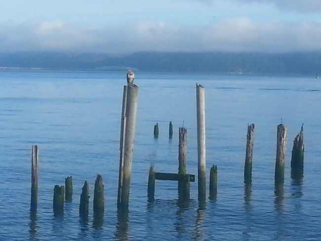 Water Sea Nature Outdoors Wooden Post Old Ruin No People Tranquility Eaglet Eagle Bird Photography Bird Beauty In Nature Travel Destinations Beach Tranquility Astoria, Oregon Astoria, OR Northcoastrecovery Columbia River Tranquil Scene Reflection Beauty In Nature Sky Nature walking to work and this little teenager was ruling the roost pretty cool to see him this morning