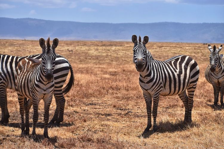 Group Of Animals Animal Animal Themes Animal Wildlife Animals In The Wild Mammal Striped Zebra Safari Nature Vertebrate Field No People Standing Two Animals Land Day Plant Landscape Outdoors Herbivorous Herd