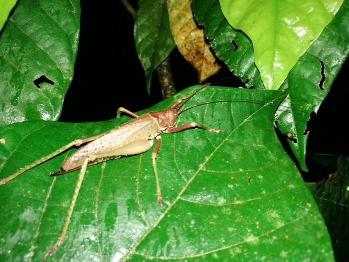 Leaf Green Color One Animal Animal Wildlife Animals In The Wild Insect Animal Themes Nature Close-up No People Day Plant Outdoors Grasshopper Full Length Beauty In Nature Night Costa Rica 🇨🇷