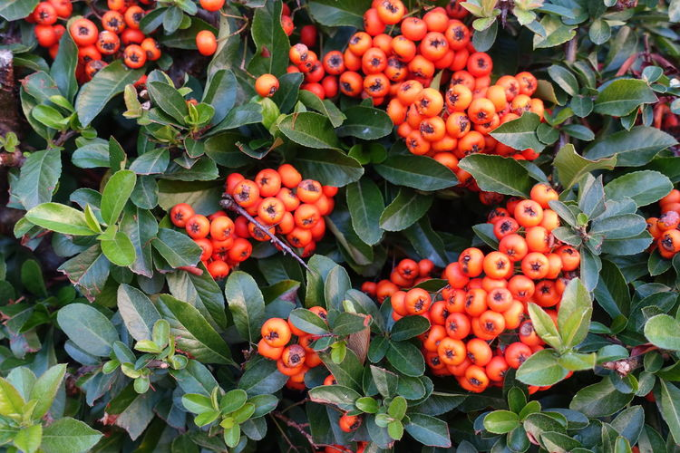 Vogelbeeren Fruit Tree Leaf Rowanberry Close-up Food And Drink Green Color Full Frame Growing Berry Fruit Young Plant