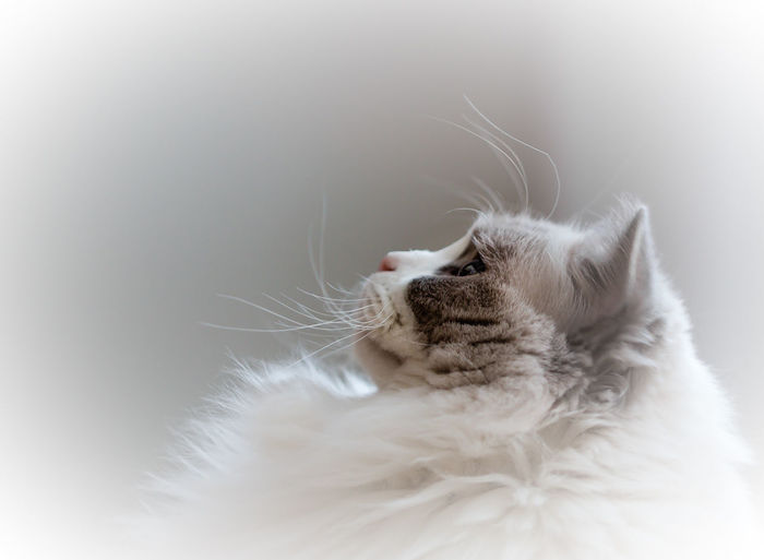 Close-up of ragdoll cat against white background