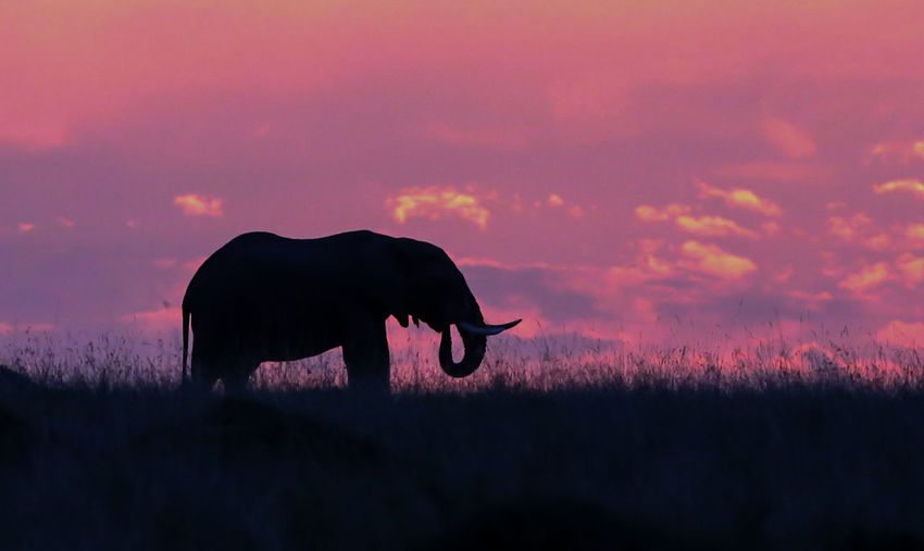 Silhouette elephant standing on field against sky during sunset