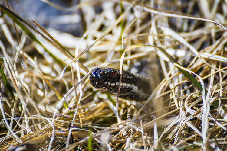 adder in the grass Animal Animal Head  Animal Themes Animal Wildlife Animals In The Wild Beetle Black Color Blade Of Grass Close-up Day Focus On Foreground Grass Insect Invertebrate Nature No People One Animal Outdoors Plant Reptile Selective Focus Vertebrate