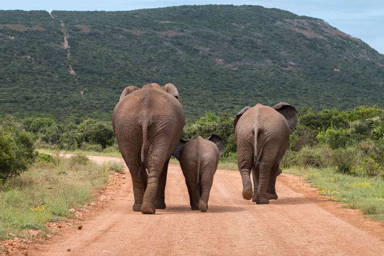 Rear view of elephants walking on dirt road