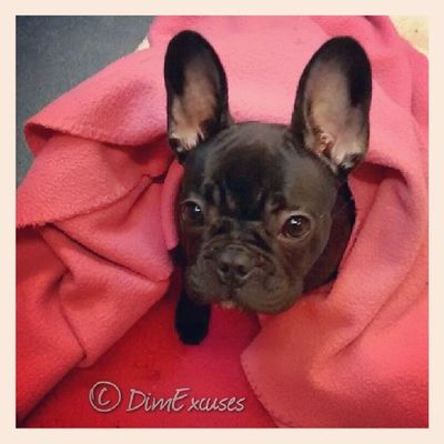 Today I have been mainly hiding in pink blankets. AdventuresOfMolly