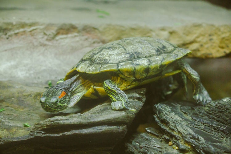 Trachemys scripta is on a rock a freshwater turtle is native to north america.