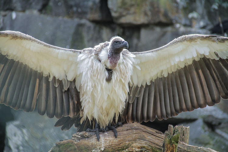 Close-Up Of Vulture Spreading Wings