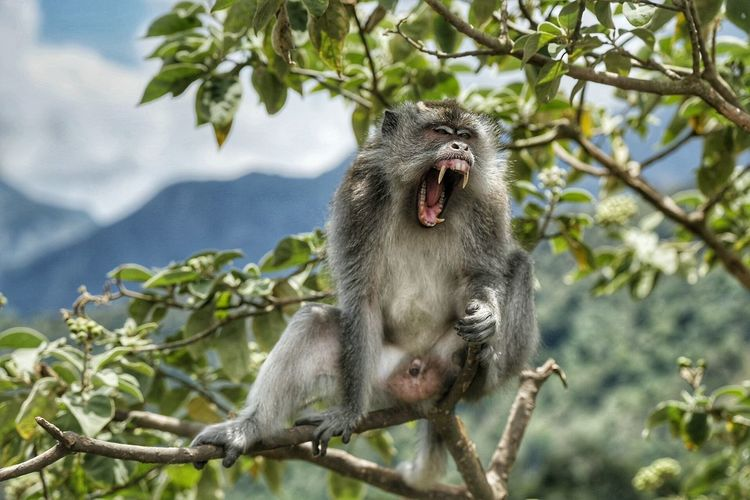 Close-Up Of Monkey Yawning On Branch