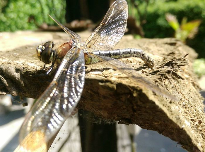 Insect Photography Macro Dragonfly Side View Close-up Wide Wings Nature Flora Fauna