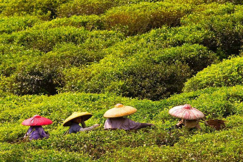 Picking Tea Tea INDONESIA Colorful Hat People Plucking Tea Leaves Tea Farmers Tea Pluckers Travel Photography Travel Traveling Eyeem Market EyeEm Best Shots EyeEm Best Edits EyeEmBestPics