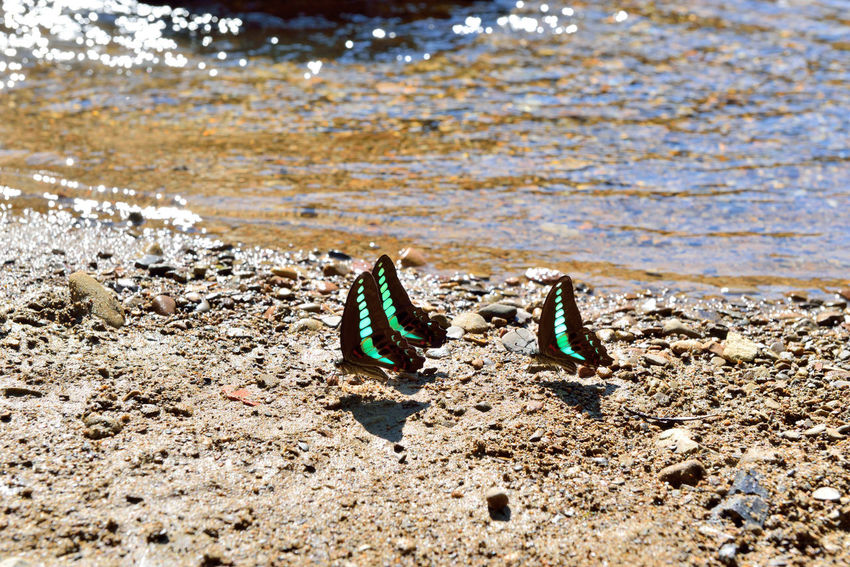 Green butterfly free to fly in the stream water foraging. Earth Fly Natural Animal Themes Beach Beauty In Nature Bleu Butterfly Butterfly Close-up Comfortable Day Ecology Foraging Nature No People Outdoors Sand Sea Soil Sunlight Water