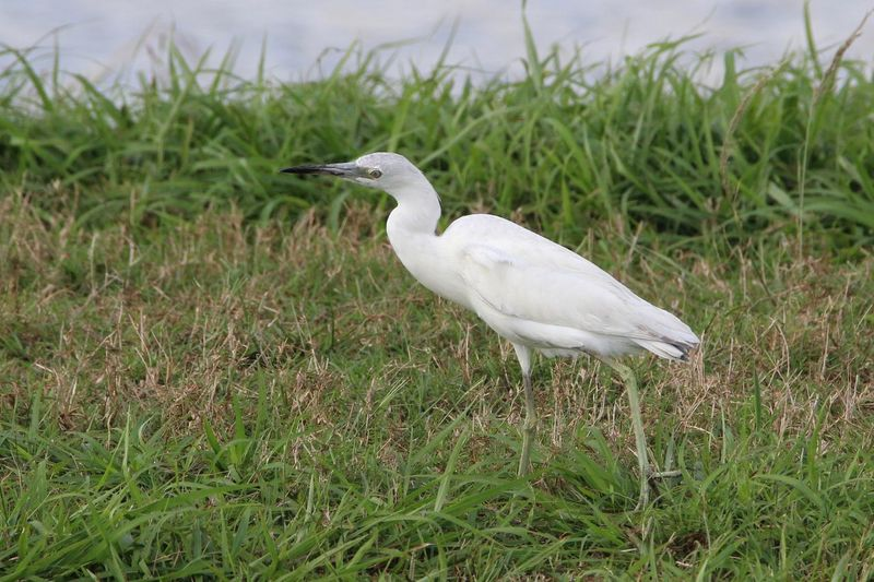 Cattle Egret One Animal Bird Animals In The Wild White Color Animal Themes Animal Wildlife Grass Day Outdoors No People