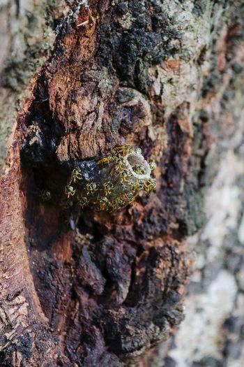 Tetragonisca Angustula Abelha Jataí Bee Jatai Bee Brazilian Bee Brazil Bee Nest Nest Close Up Insect