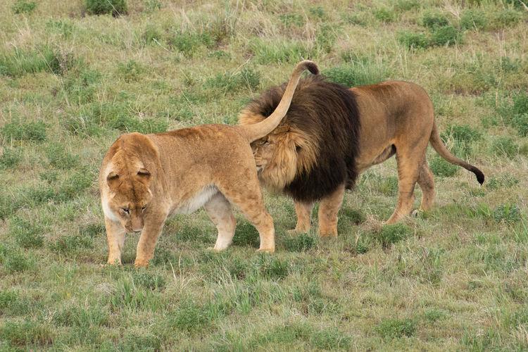 Lion Animal Animal Family Animal Themes Animal Wildlife Grass Group Of Animals Lion - Feline Lions Mammal No People Sanctuary  Two Animals