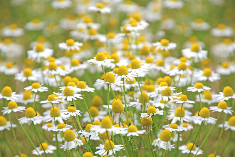 Close-up of white flowers growing on field